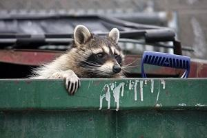 raccoon, BAIID, internet hoax, Chicago criminal defense lawyer